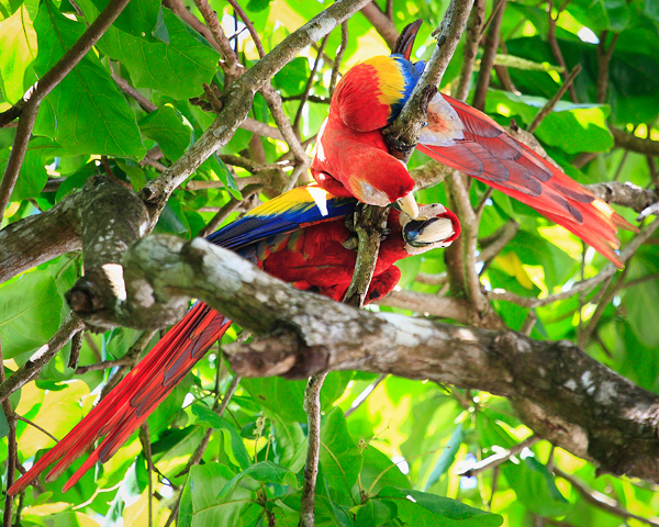 Kissing scarlet macaws