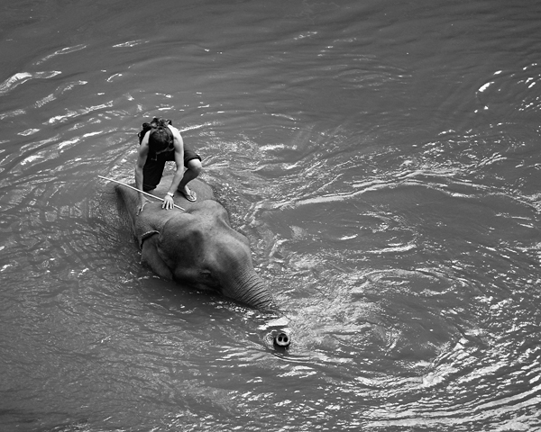 An elephant and his mahout cooling in the Ping River