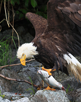 Eagle and Salmon