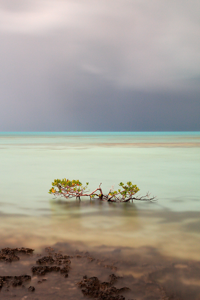 Another mangrove before the storm