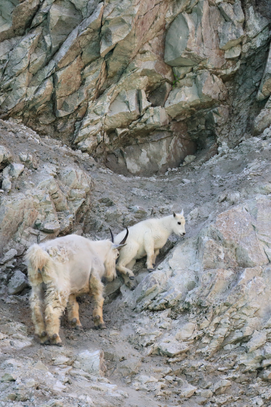 Mom gives a helpful push. Mountain goats in Glacier Bay National Park, Alaska.